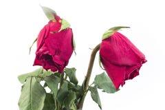 Zwei verwelkte Rosen Lizenzfreies Stockbild