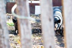 Zwei vietnamesische Schweine, die durch einen Zaun schauen Lizenzfreie Stockfotos