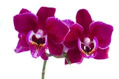 Zwei violette Orchideen Stockfoto