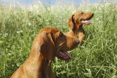 Zwei Vizsla Hunde draußen Stockbilder