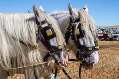 Zwei vollblütige Grafschaftspferde, die Gerät und Blinker tragen Stockbilder