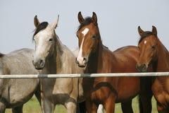 Zwei vollblütige junge Pferde, die an der Hürde stehen, Flugsteig zwei vollblütige junge Pferde, die am Hürdentor stehen Lizenzfreies Stockfoto