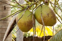 Zwei von grünen Kokosnüssen mit Bündeln Lizenzfreies Stockfoto