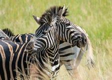 Zwei vorangegangene Zebraoptische täuschung lizenzfreies stockfoto