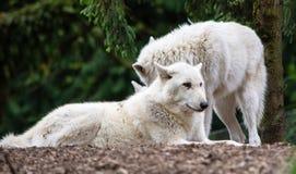 Zwei Wölfe Lizenzfreie Stockfotos