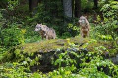 Zwei Wölfe auf einem Felsen stockfotografie