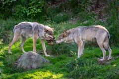 Zwei Wölfe, die über Nahrung kämpfen lizenzfreie stockbilder