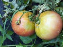 Zwei wachsende nasse Tomaten Lizenzfreies Stockbild