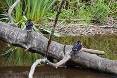 Zwei waldige Enten auf einem Stamm eines gealterten Baums über einem Parkteich lizenzfreies stockbild