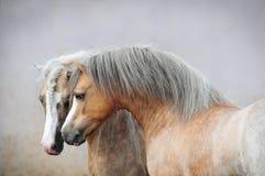 Zwei Waliser-Ponys Lizenzfreies Stockfoto