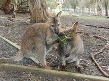 Zwei Wallaby-Essen Lizenzfreie Stockfotografie