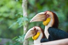 Zwei wanden Hornbill lizenzfreies stockfoto