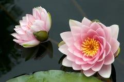 Zwei Wasser-Lilien Stockfotografie