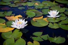 Zwei Wasserlilien Stockfoto