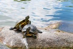Zwei Wasserschildkröten Lizenzfreie Stockbilder