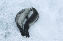 Zwei Weddellrobben (Leptonychotes-weddellii) auf Eisansicht von oben Lizenzfreies Stockbild