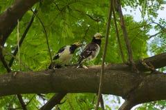 Zwei weiß und gelbe vorangegangene thailändische Vögel, hoch oben in einem Baum, einen Parkhorizont mit ihren Augen suchend lizenzfreie stockfotos