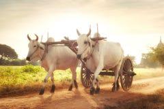 Zwei weiße asiatische Ochsen, die hölzernen Warenkorb auf staubiger Straße ziehen myanmar Lizenzfreie Stockbilder