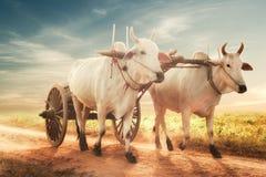 Zwei weiße asiatische Ochsen, die hölzernen Warenkorb auf staubiger Straße ziehen myanmar Lizenzfreie Stockfotos