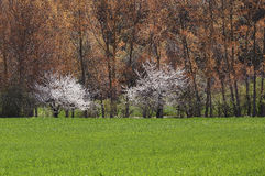 Zwei weiße Bäume Stockfotos