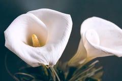 Zwei weiße Callas lizenzfreie stockfotos