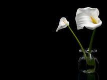 Zwei weiße Callas lizenzfreies stockbild