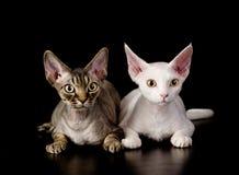 Zwei weiße Devon-rex Katzen Getrennt auf dunklem Hintergrund Stockbilder
