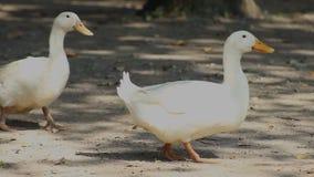 Zwei weiße Enten, die den Rahmen eintragen und verlassen stock video