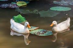 Zwei weiße Enten in einem Teich Stockfotografie