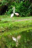 Zwei weiße Flamingos in der Liebe Stockfotos