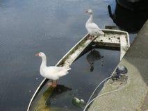 Zwei weiße Gänse, die auf einem Boot in einem Kanal von Amsterdam stehen lizenzfreie stockbilder