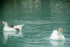 Zwei weiße Gänse im Wasser Stockfotos