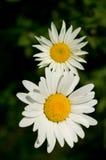 Zwei weiße Gänseblümchen Stockbilder