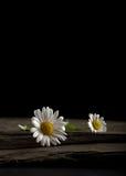 Zwei weiße Gänseblümchen auf einer Schiefer-Platte Stockfotos