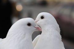 Zwei weiße Hochzeitstauben Lizenzfreie Stockbilder