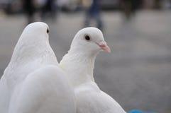 Zwei weiße Hochzeitstauben Lizenzfreies Stockfoto