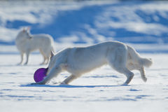 Zwei weiße Hunde, die auf Winterhintergrund spielen Stockfotos