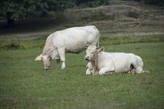 Zwei weiße Kühe im Gras am Bauernhof Lizenzfreie Stockbilder