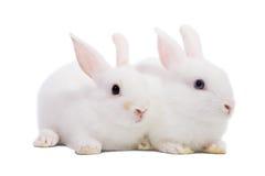 Zwei weiße Kaninchen Stockfotografie