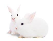 Zwei weiße Kaninchen Lizenzfreies Stockfoto