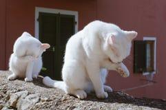 Zwei weiße Katzen, die ihre Tatze säubern stockbilder