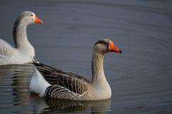Zwei weiße konfrontierte Gänse auf einem Teich Lizenzfreies Stockfoto