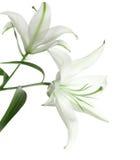 Zwei weiße Lilien stockfoto