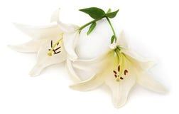 Zwei weiße Lilien lizenzfreie stockfotografie