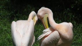 Zwei weiße Pelikane stock footage