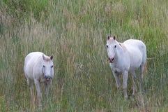 Zwei weiße Pferde Lizenzfreie Stockbilder