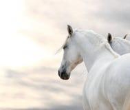 Zwei weiße Pferde Lizenzfreie Stockfotografie