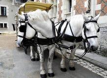 Zwei weiße Pferde vorgespannt Lizenzfreie Stockfotos