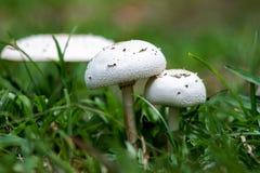 Zwei weiße Pilze unter Gras Stockfoto
