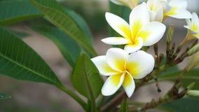 Zwei weiße Plumeriablumen auf Baumhintergrund Video 4K stock video
